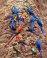Parrots at a clay lick -Tambopata National Reserve, Peru-8c.jpg