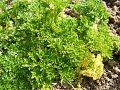 Parsley-Petroselinum 43011-480x360 (4811468092).jpg