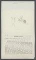 Pasithea rectirostris - - Print - Iconographia Zoologica - Special Collections University of Amsterdam - UBAINV0274 099 06 0019.tif