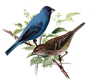 Indigo bunting - Male (above), female (below)