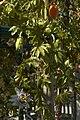 Passiflora caerulea B.jpg