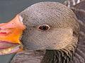 Pato duck GFDL1.jpg