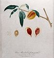Peach (Prunus species); fruiting branch with halved fruit an Wellcome V0043141.jpg