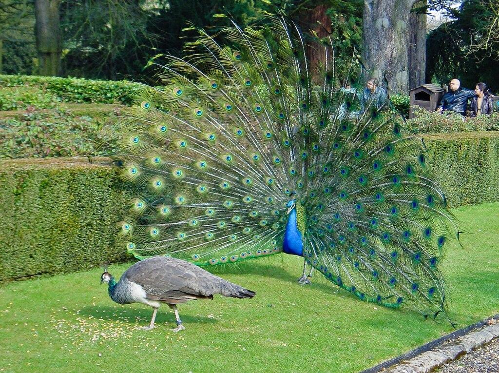 Peacock Cichlid for Sale  AquariumFishnet