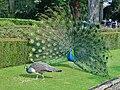 Peacock Wooing Peahen.jpg