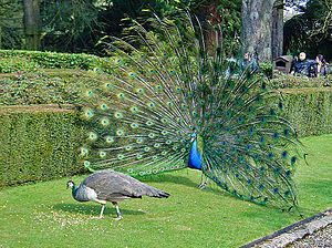 Evolutionary aesthetics - A male peacock does its best to court a female, dancing and displaying its extravagant plumage.