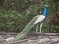 Peacock fort kochi kerala - panoramio.jpg