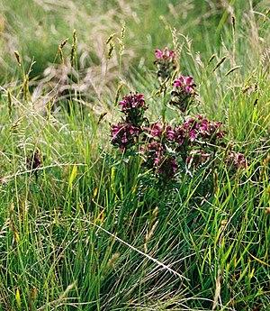 Pedicularis sudetica - Pedicularis sudetica