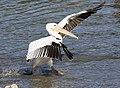 Pelecanus onocrotalus - Great White Pelican 01.jpg