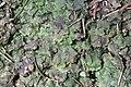 Pellia epiphylla (c, 144647-474724) 0661.jpg