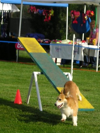 Dog agility - A Pembroke Welsh Corgi dismounting the see-saw