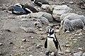 Penguin colony in Hermanus 18.jpg