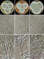 Penicillium rubens (Fleming's strain).png
