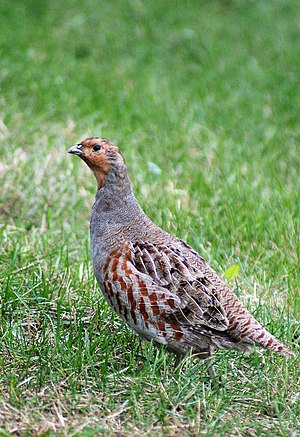 Grey partridge - Image: Perdix perdix Sri Mesh