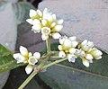 Persicaria chinensis 16.JPG