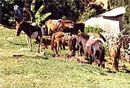 Pferde in Maubisse klein.jpg