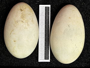 Japanese cormorant - Eggs, Collection Museum Wiesbaden