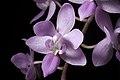 Phalaenopsis equestris var. rosea (Luzon, Philippines) Valmayor & D.Tiu, Philipp. Orchid Rev. A-V(3)- 18 (1983) (38438794196).jpg