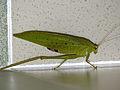 Phaneropterine Katydid (Tettigoniidae) (14980806134).jpg
