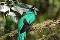 Pharomachrus mocinno Monteverde 12.jpg
