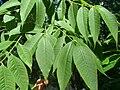 Phellodendron amurense Amurinkorkkipuu VI08 H5609.jpg