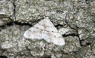 <i>Phigalia titea</i> Species of moth