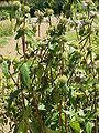 Phlomis tuberosa1.jpg