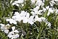 Phlox subulata White Delight 2zz.jpg