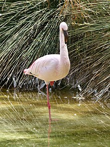 Phoenicopterus minor - flamingo - flamant - 03.jpg