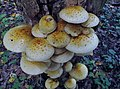 Pholiota aurivella (Batsch) P. Kumm 374863.jpg