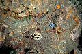 Phyllidia ocellata (26727791415).jpg