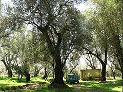 L olivo non è poesia ma terapia per l umanità l oro liquido nutre