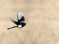 Pica hudsonia flight.jpg