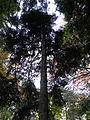 Picea orientalis 03.JPG
