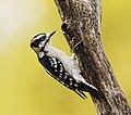 Picoides pubescens male, Shenandoah National Park, Virginia.jpg