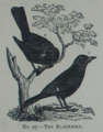 Picture Natural History - No 97 - The Blackbird.png