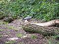 Pigeon in Furzefield Wood - geograph.org.uk - 1417901.jpg
