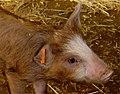 Piglet in farm.jpg