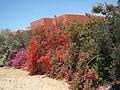 PikiWiki Israel 2752 Moshav Ohad הבוגונוויליה בצבעים מרהיבים.JPG