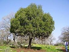 PikiWiki Israel 5258 kermes oak.jpg