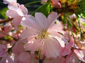 Pink Sakura Macro, 26 april 2007.jpg