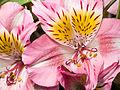 Pink flower (14376989635).jpg