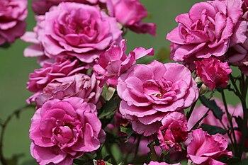 Pink roses in India.jpg