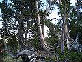 Pinus albicaulis Mount Rose NV.jpg