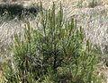 Pinus halepensis - Flickr - S. Rae.jpg