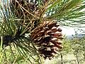 Pinus ponderosa var. scopulorum (7458435882).jpg