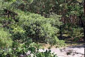 E11 European long distance path - Pine forest is typical for the whole area