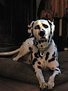 Pitstop, my brother-in-law's Dalmation.jpg