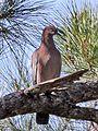 Plain Pigeon (cropped).jpg