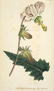 <i>Michauxia</i> genus of plants